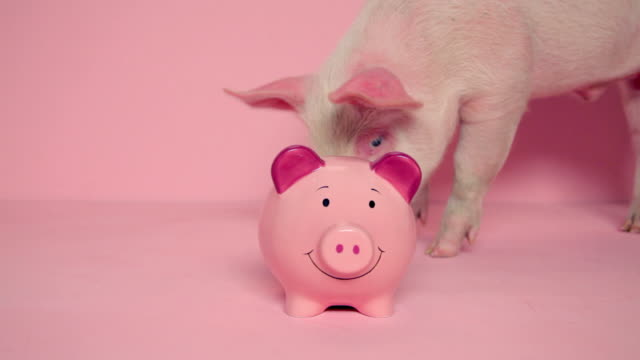 Piglet looking at piggybank against pink background