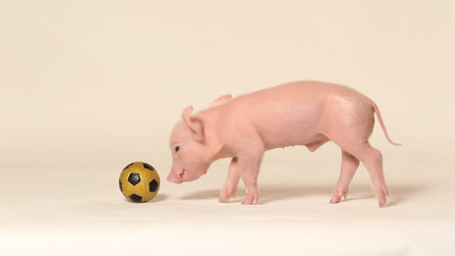 Piglet playing with football