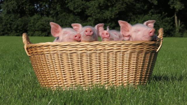 Piglets in a basket