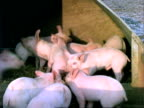 Piglets in shelter playing, MS, England, UK