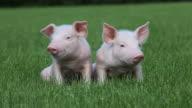 Piglets sitting on grass
