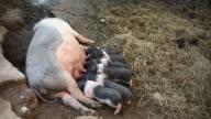 Piglets suckling in barn