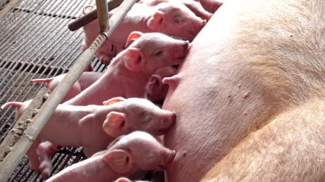 Piglets Suckling