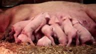 Piglets...