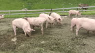 WS PAN Pigs eating at schlappold alm / Oberstdorf, Bavaria, Germany