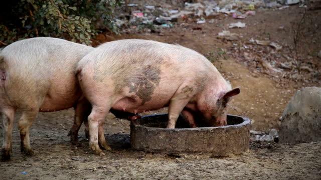 Pigs Eating Food Outdoor