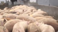 Pigs eating grain at Alderland pig farm in New Providence Iowa US on April 8 2015 Shots Wide shots and close up of pigs eating grain from a tractor...