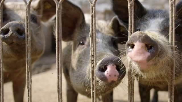 Pigs in the stable