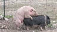 Schweine xxx-HD 1080/bis 30