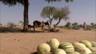 A pile of watermelons sit in the sun as cows stand in the shade of a tree. Available in HD.