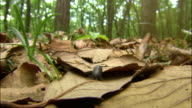 Pill woodlouse walking on fallen autumn leaves on forest floor, Japan / SFX