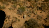Pilot flying helicopter over the bushveld with rhino with calf running between trees Rhino poaching is a major threat to the extinction of rhinos...