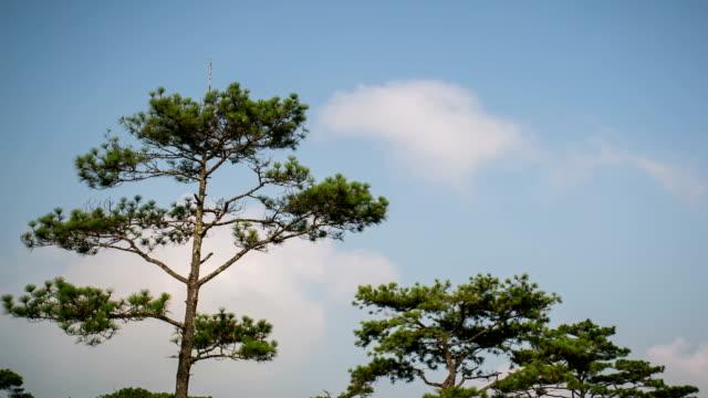 Pine and Sky