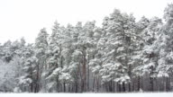 Pine forest in snow after blizzard.