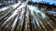Pine forest wonderland