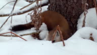 MS ZO TU TS Pine marten hunting beside tree at Algonquin Park  / Whitney, Ontario, Canada