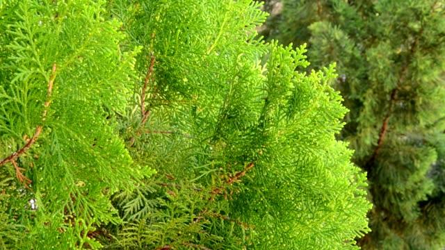 Pine tree leaf
