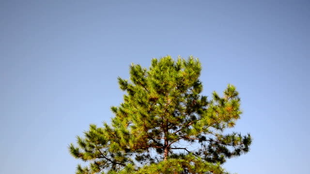 Pine trees with blue sky.