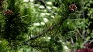 Pine mit Hütchen