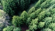Pine woodland from air