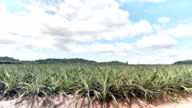 Pineapple agriculture plantation