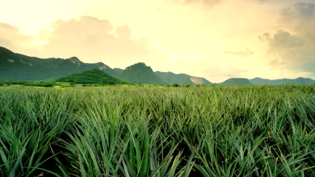 pineapple field with mountain background and sunset
