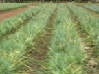Pineapple Plantation: Moving Tracking Shot