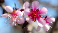 Pink almond flowers on wind