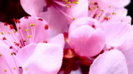 Pink cherry blooming flowers