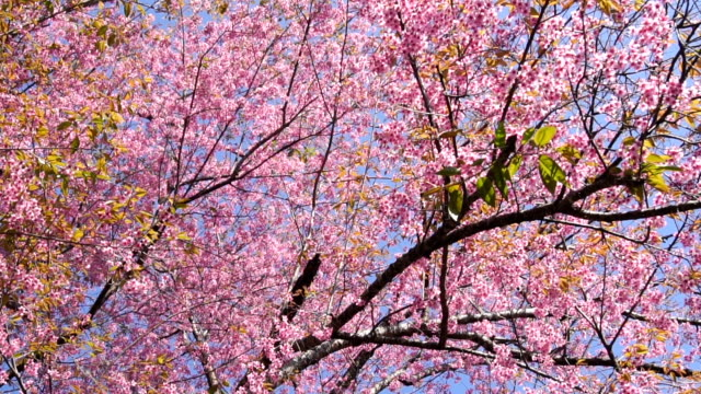 HD Pink cherry blossom flower at chiang man, Thailand
