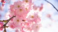 Roze kersenbloesem bloemen op een heldere hemelachtergrond
