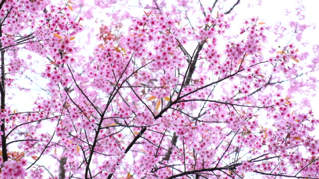 Pink Cherry Blossoms in Spring Season