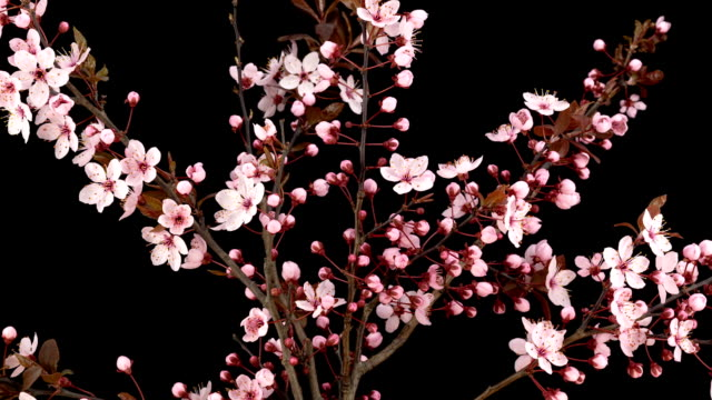Pink Cherry Blossoms; TIME LAPSE