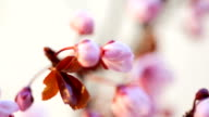 Pink cherry flowers blooming