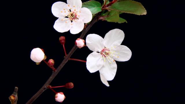 Pink cherry tree flowers blooming 4K