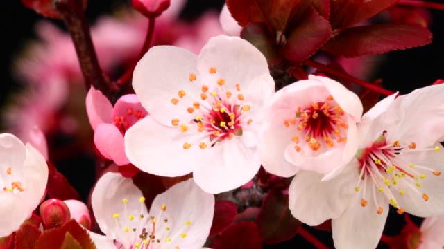 Roze kersenboom bloemen bloeiende HD 4k