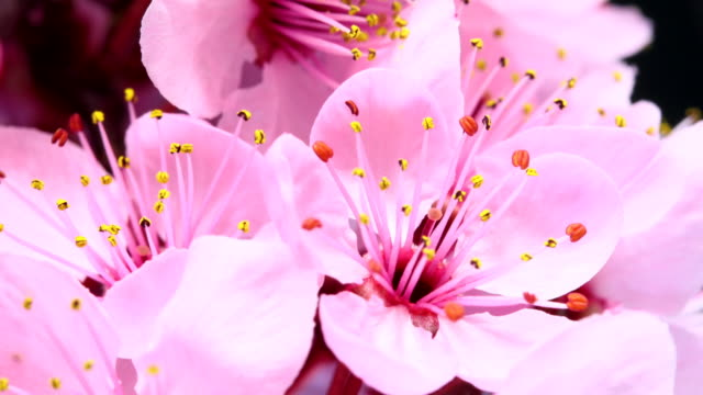 Pink cherry tree flowers blooming HD 4k