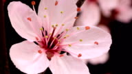 Pink cherry tree flowers blooming HD