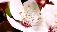 Pink cherry Baum Blumen erblühen HD