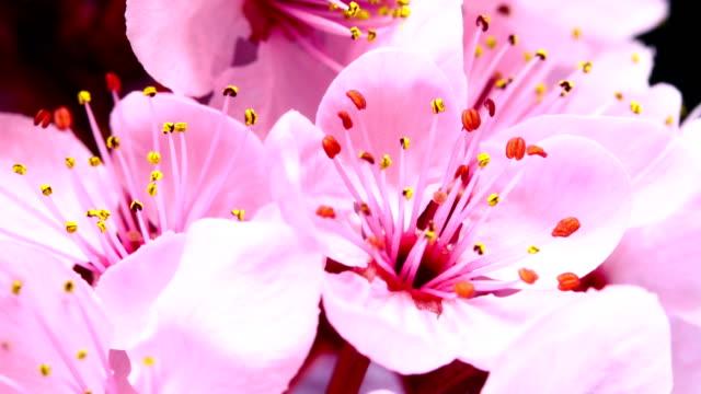 Roze kersenboom bloemen bloeien
