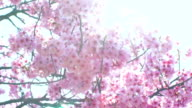 Pink cherry tree flowers blooming