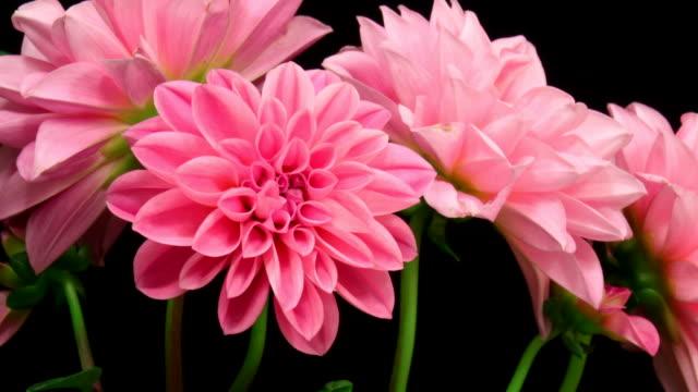 Pink dahlia flowers blooming 4K