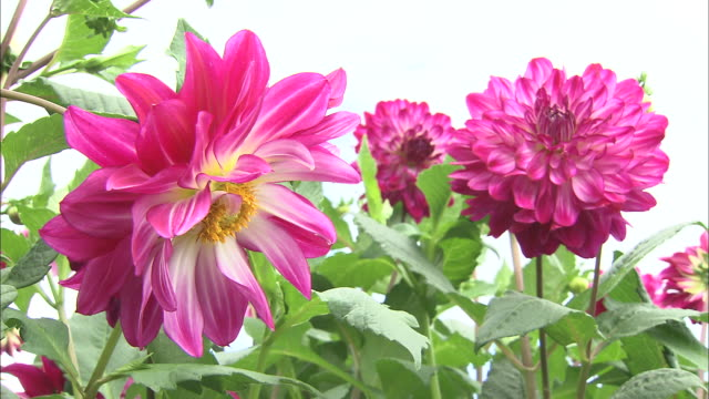 Pink dahlias bloom in a meadow.