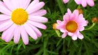 Pink daisy blooming