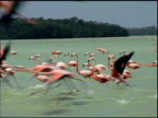Pink Flamingoes in Flight