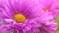 Rosa Blume mit Tau