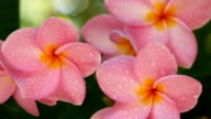 Pink Flowers Frangipani