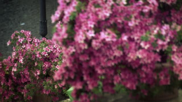 Pink flowers on the Spanish Steps of the Trinita dei Monti