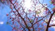Pink flowers Tabebuia rosea blossom