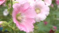 Pink hollyhock flower in garden